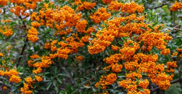 pyracantha firethorn with bright orange berries
