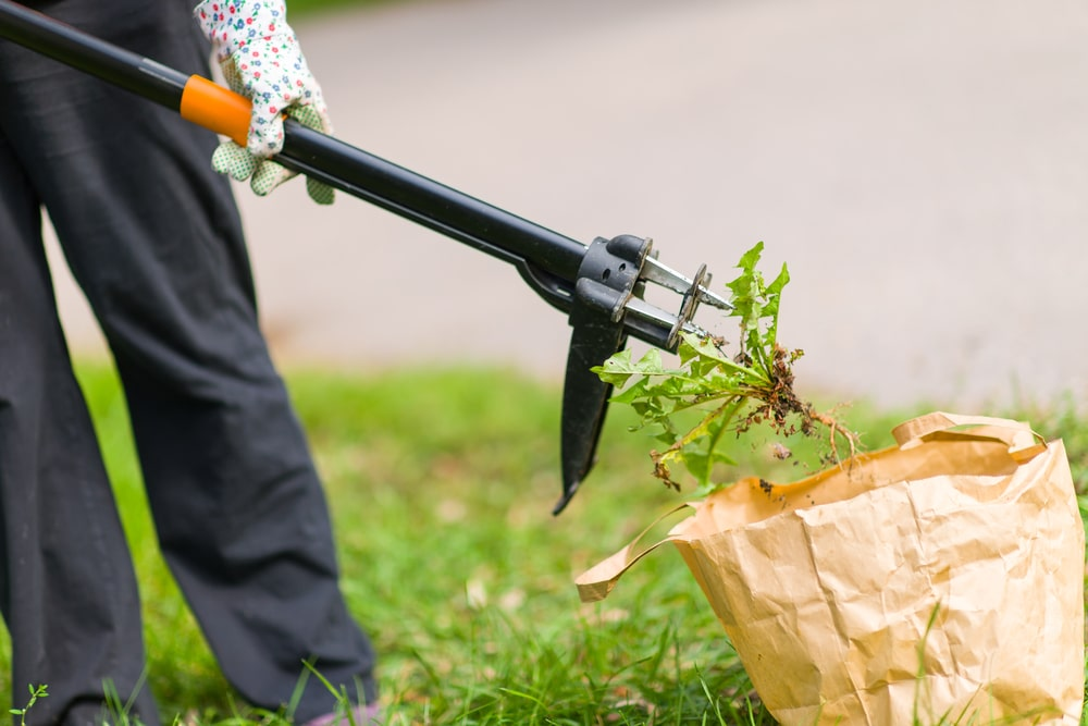 woman placing weeds in carrier bag using weeding tool