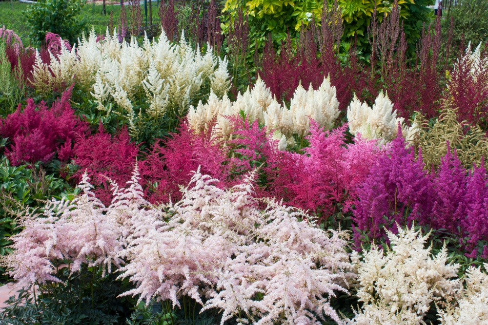Different colours and heights of Astilbe planted together