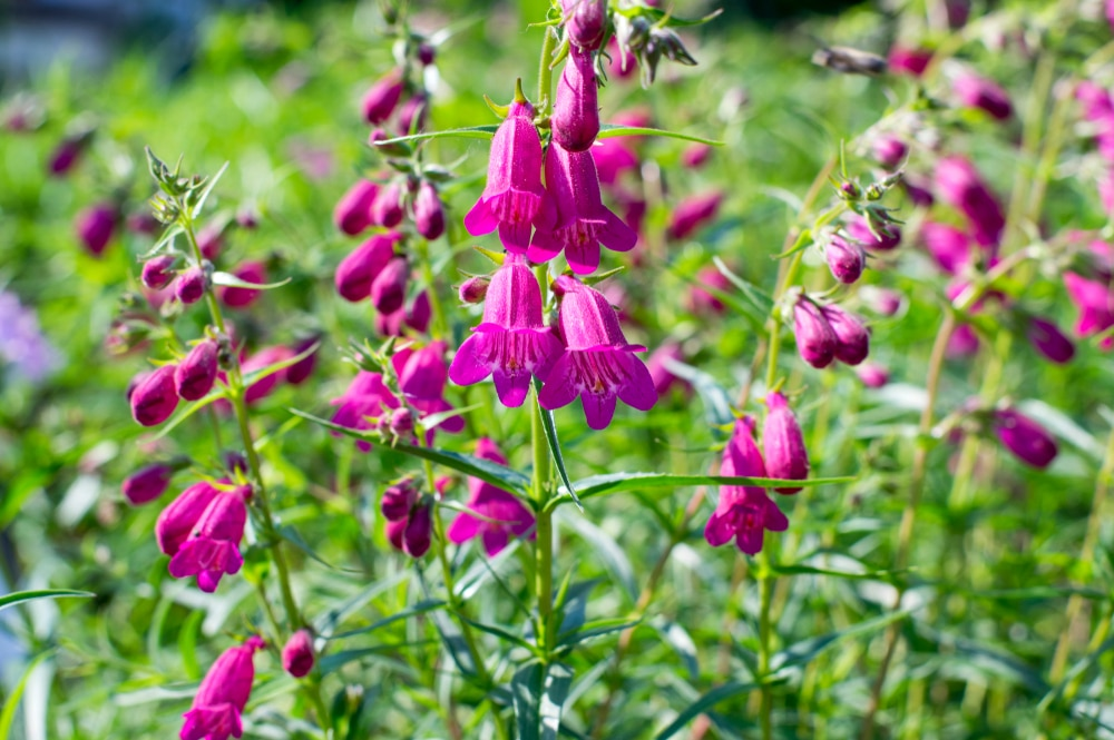 Penstemon mexicali cultivar red rocks flowers growing in the grass