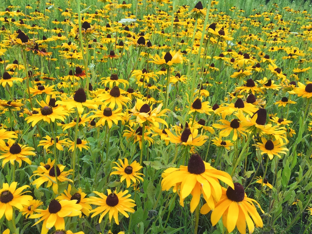Rudbeckia flowers growing in a field