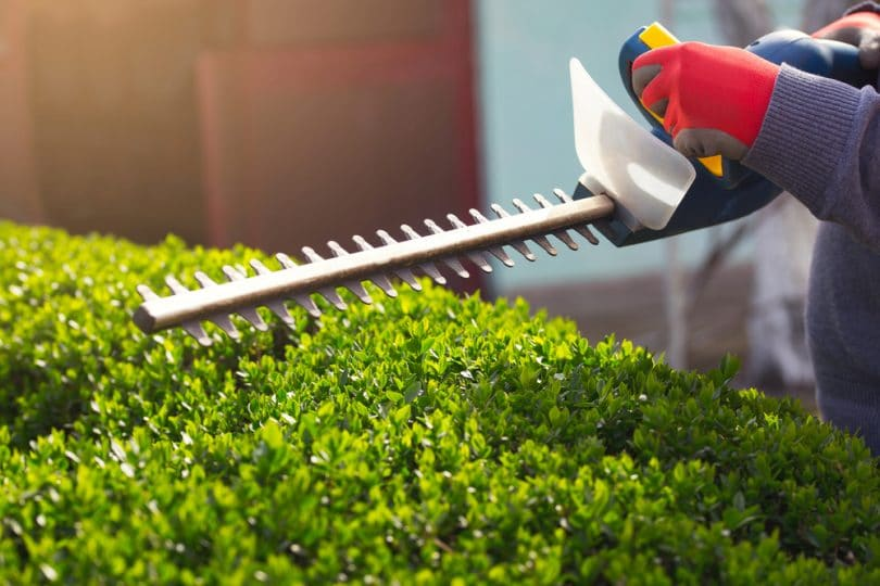 hedge trimmers being used to trim garden hedge
