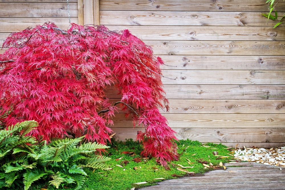 Small Japanese maple cultivar against the backdrop of a garden fence