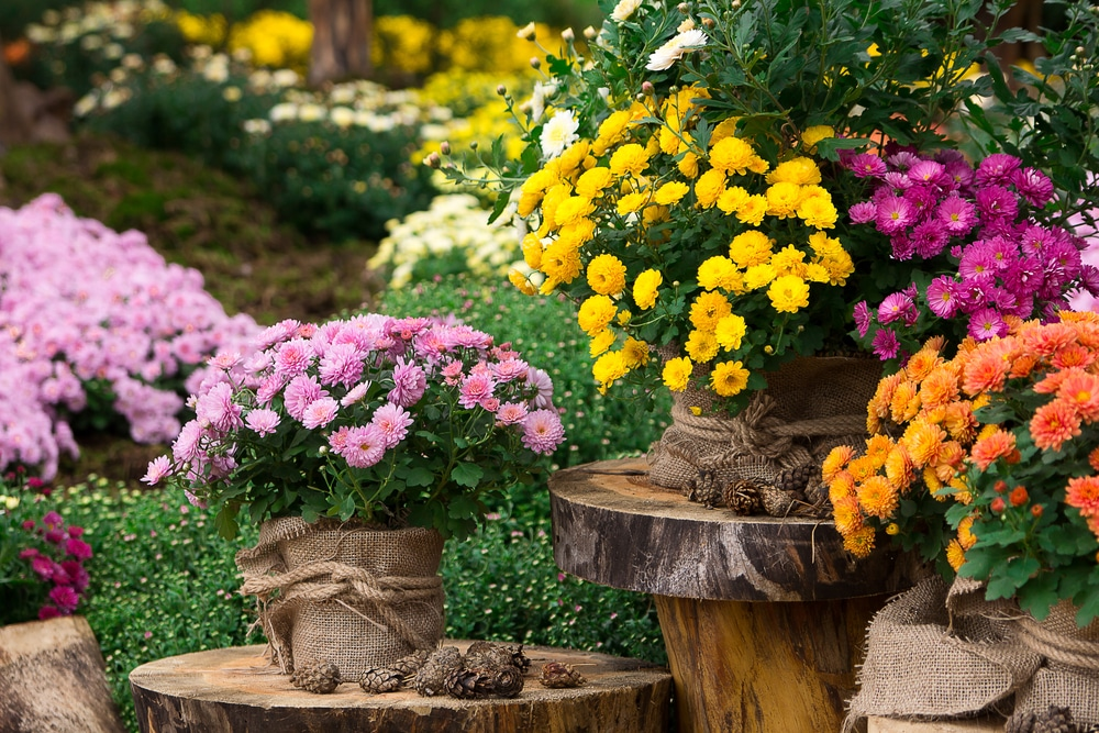 Chrysanthemum Care Uk Growing Tips Upgardener