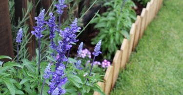 blue salvia in a small garden border with miniature fence