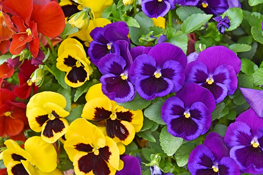 Red, yellow and purple pansy flowers