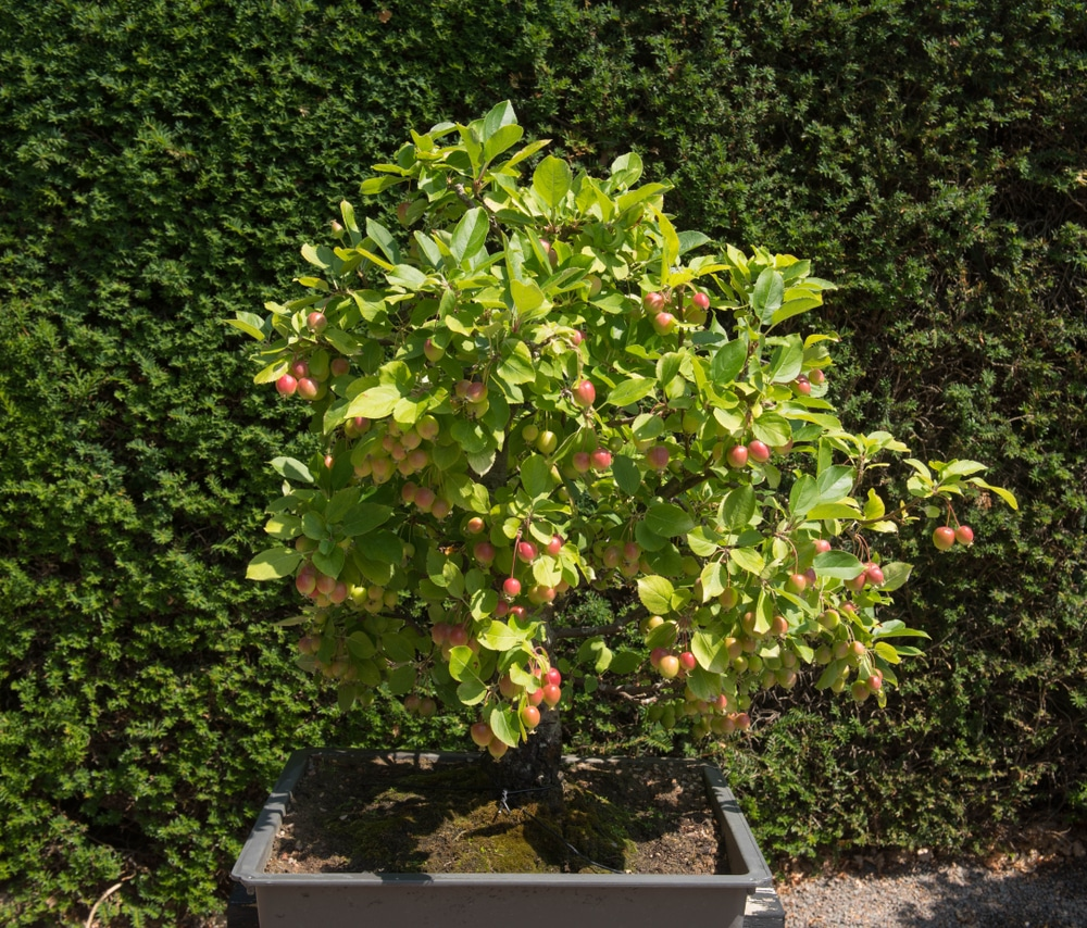A crab apple bonsai tree grown outside in the UK