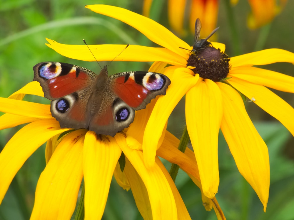 insects sat on rudbeckia flowers