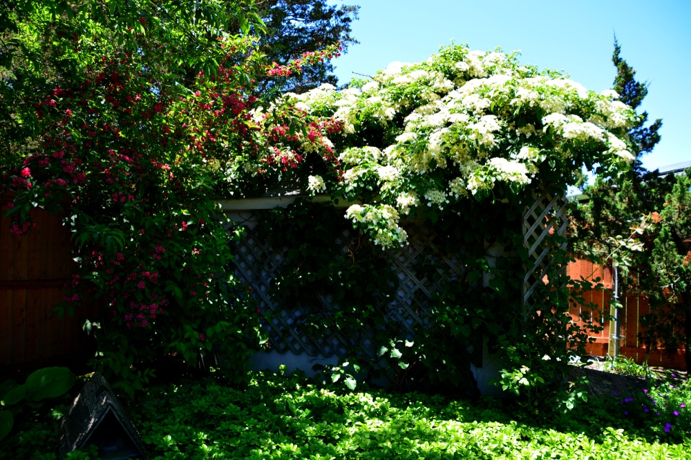 A Climbing Hydrangea in Full Bloom – and in Full Flight