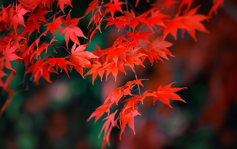 Red Japanese maple leaves with a vivid red colour