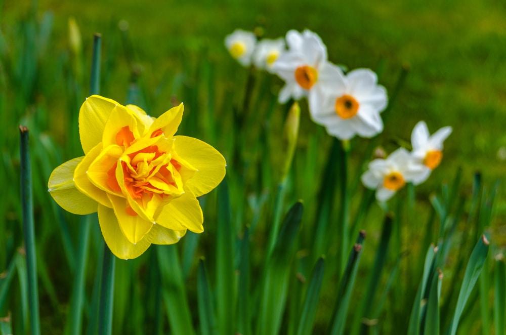 Tahiti Daffodil flower