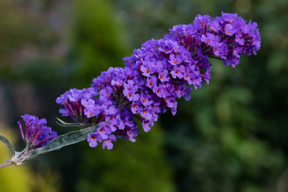 Buddleia Butterfly Bush Care Amp Uk Growing Tips Upgardener