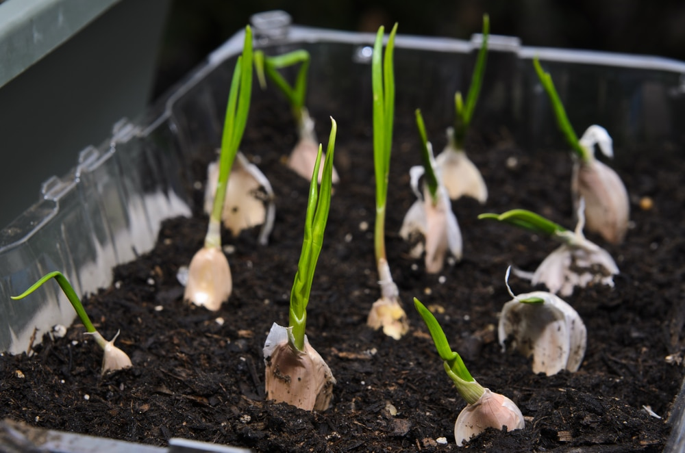 Garlic grown in a small container