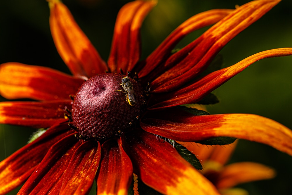 An orange rudbeckia hybrid
