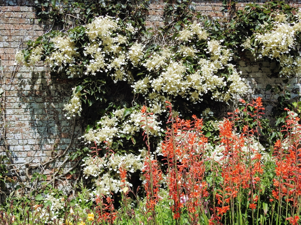 Schizophragma hydrangeoides decorating a brick wall