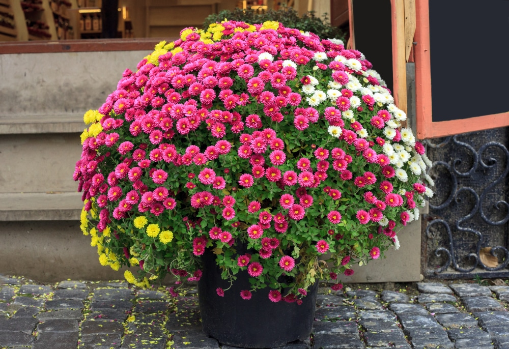 A confident and healthy chrysanthemum pot