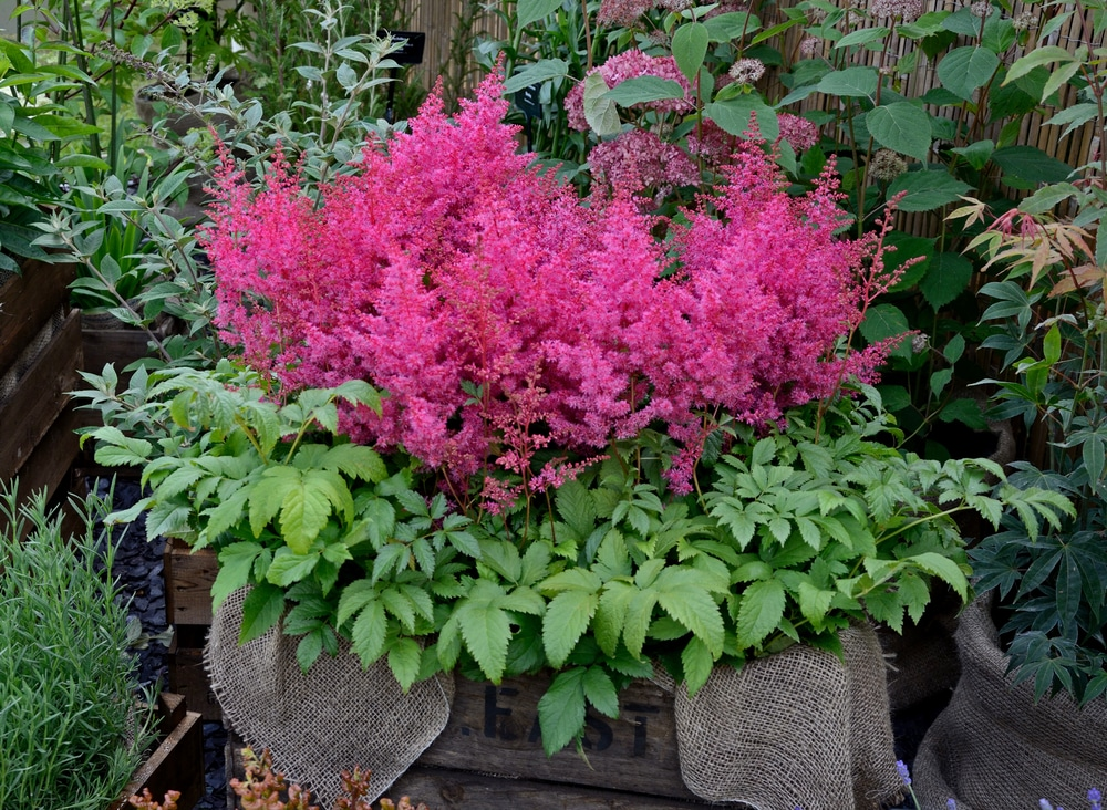 Astilbe grown in a container