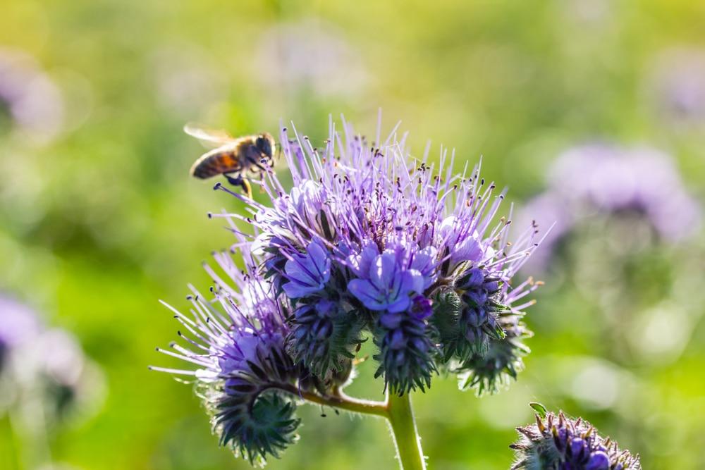 Phacelia purple flowers with a bee