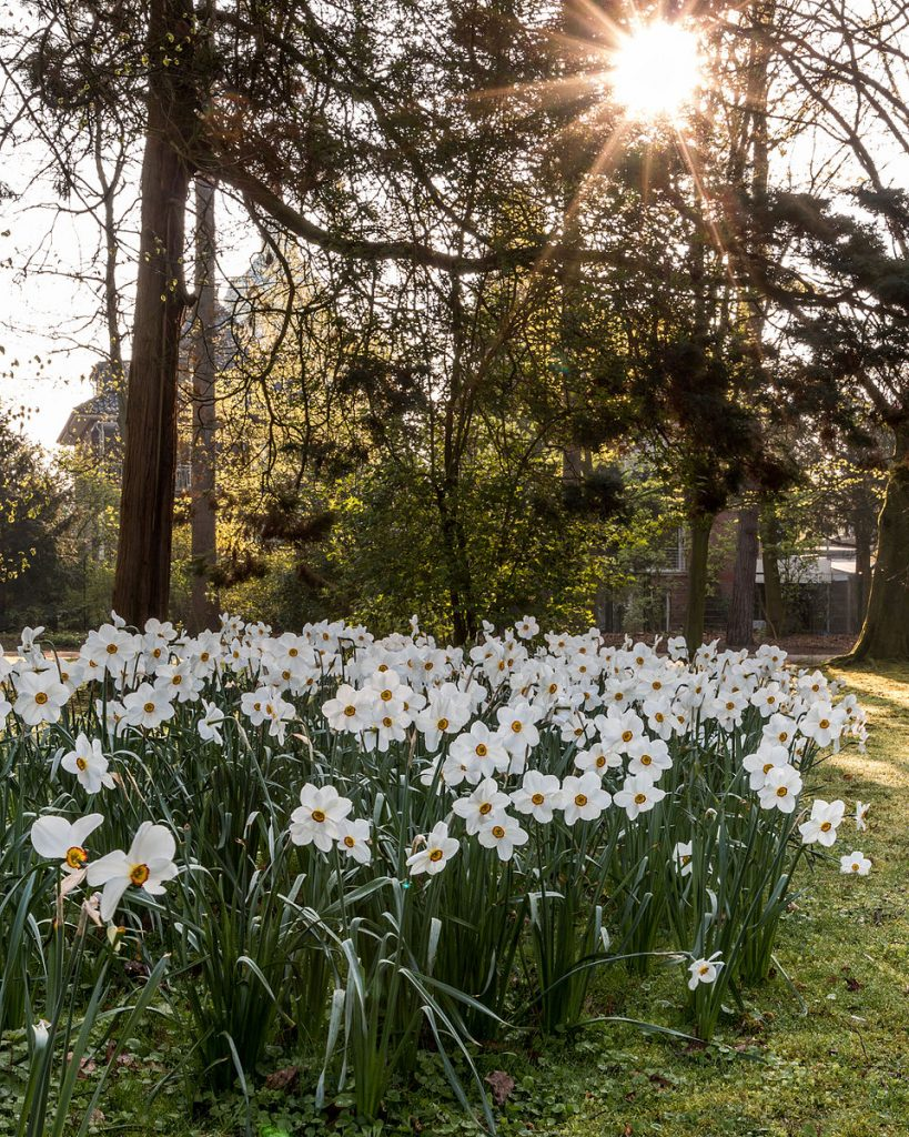 A Stand of White Daffodils in a Park in Germany