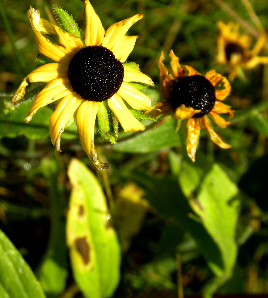 Withered rudbeckia plants with spots of brown on their leaves