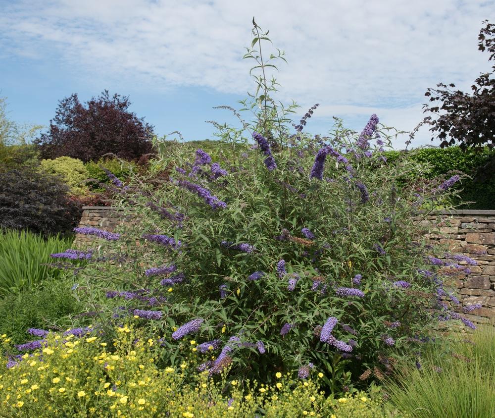 An unkempt buddleia bush