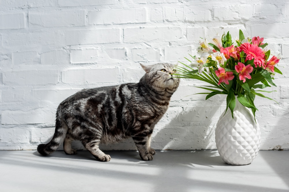 Cat sniffing Peruvian Lilies