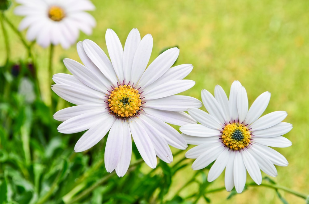Fully flowered white african daisies
