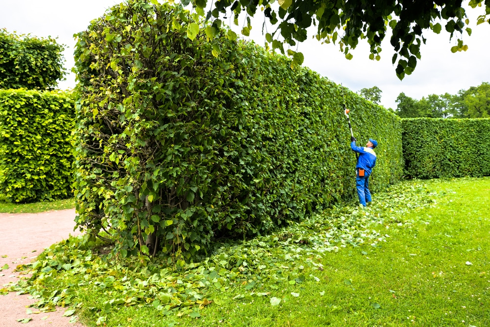 really tall hedge being trimmed