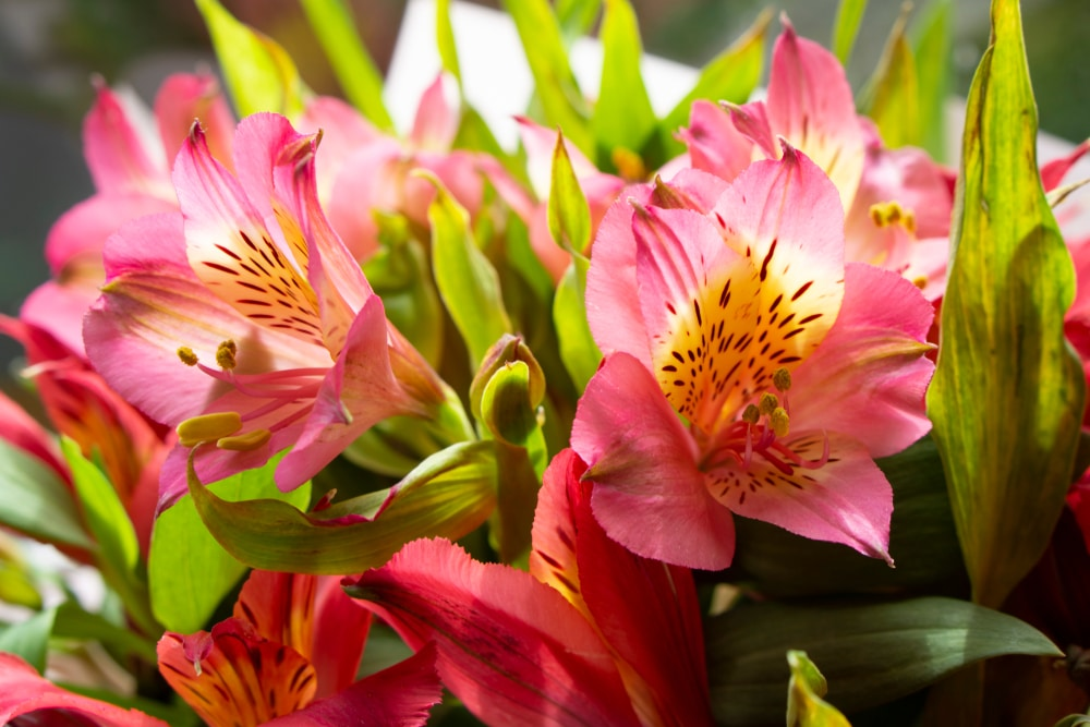 Alstroemeria Peruvian Lily Care Growing Tips Upgardener