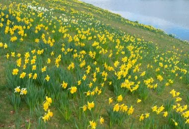 Yellow Daffodils Stretching Into the Horizon
