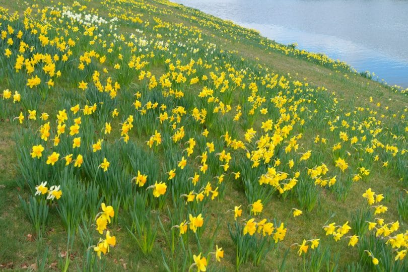 Daffodil Care Tips On How To Grow In Uk Upgardener