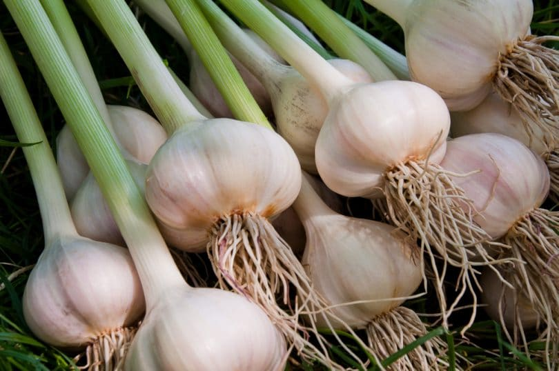 a collection of garlic plants that have been uprooted
