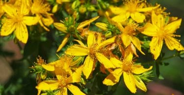 flowering yellow hypericum