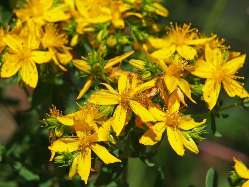 flowering yellow hypericum