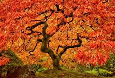 a vibrant orange japanese maple tree in autumn