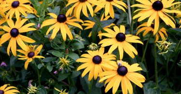 beautiful bright yellow rudbeckia flowers