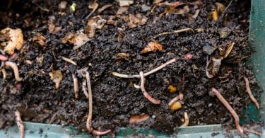 worms in composting heap