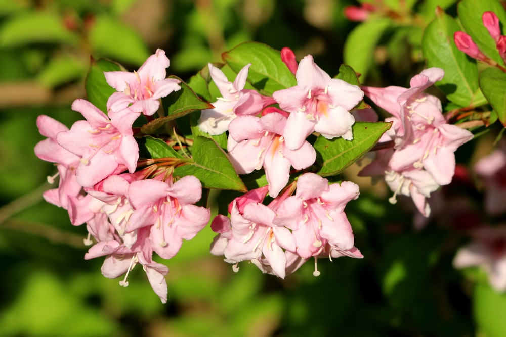 Weigela Florida Pink flowers with green leaves