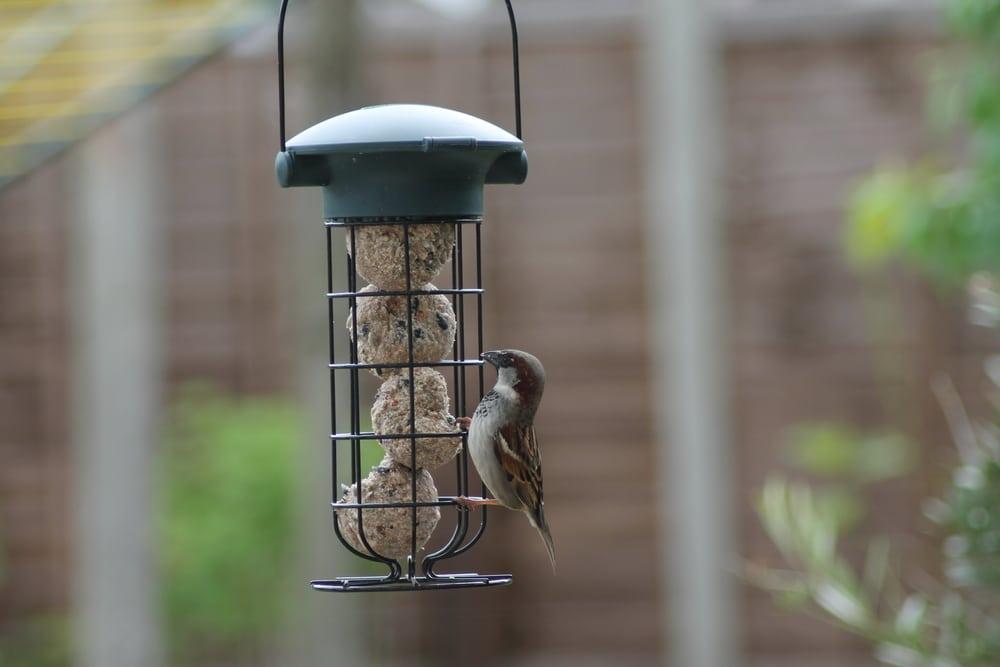 A bird sat on a feeder enjoying some fat balls