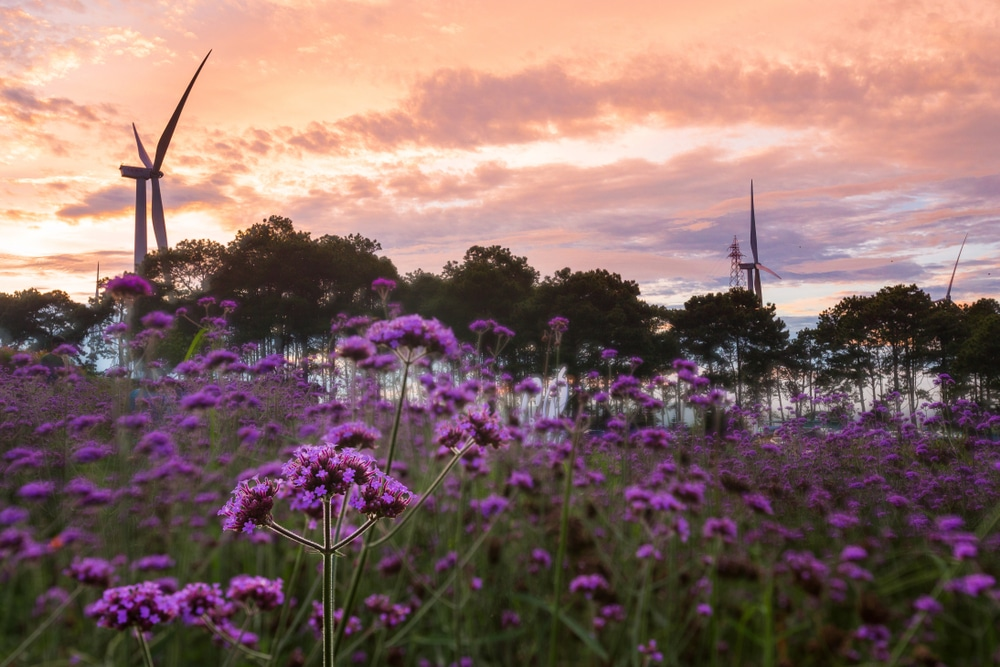 Verbena bonariensis growing in the wild with wind turbines in the background