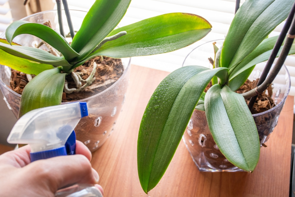 Misting an indoor plant with a water sprayer