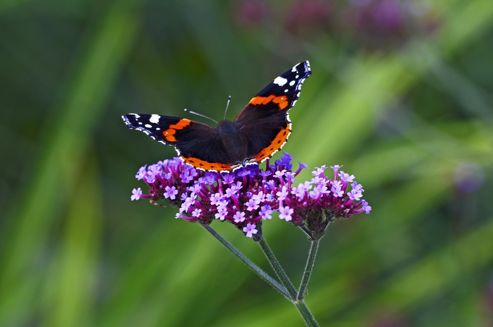a stunning multi-coloured butterly sat on Verbena bonariensis plant