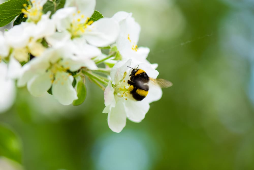 A busy bumble bee pollinates an apple tree's blossoms