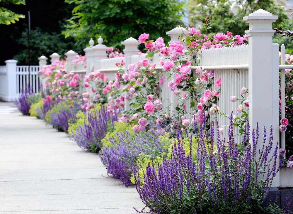 A garden border with a stunning white fence and bright pink roses