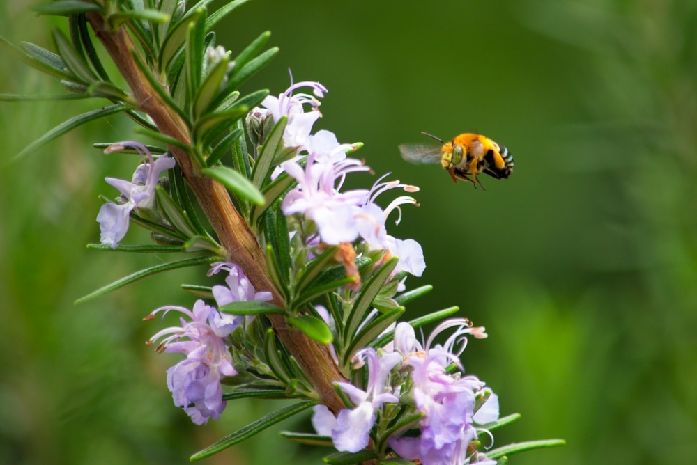 bee flying over rosemary plant
