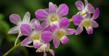 dendrobium flowers in singapore