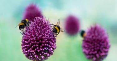 bees sitting on Allium sphaerocephalon