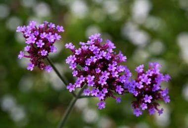 purple verbena bonariensis flowers