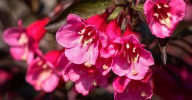 bright pink weigela flowers