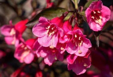 bright pink weigela flowers